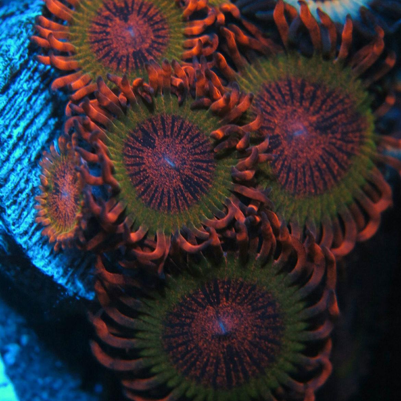 Deep sea coral